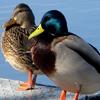 Duck Jigsaw