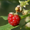 Forest raspberry