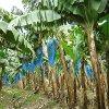 Jigsaw: Banana Plants