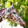Jigsaw: Giraffe