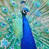 Peacock Jigsaw